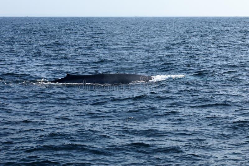 Wielorybi dopatrywanie w Sri Lanka obraz royalty free
