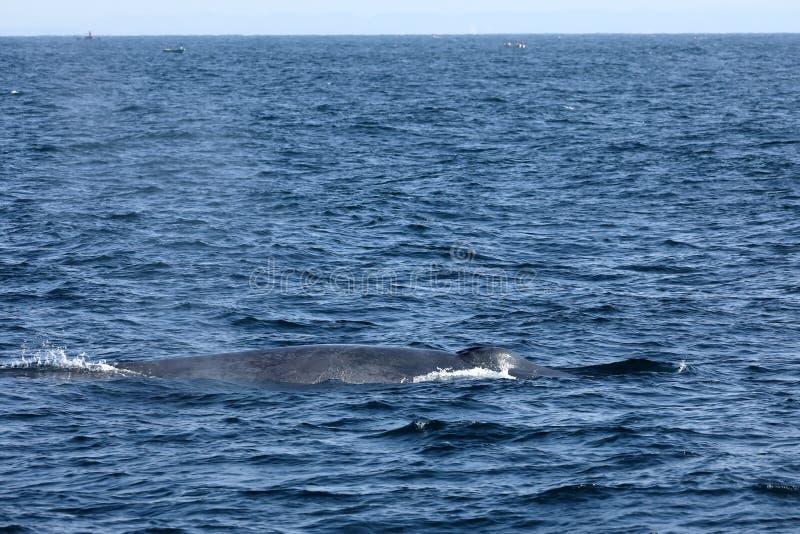 Wielorybi dopatrywanie w Sri Lanka fotografia royalty free