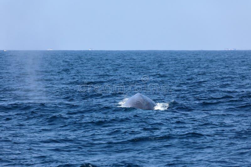 Wielorybi dopatrywanie w Sri Lanka zdjęcie royalty free
