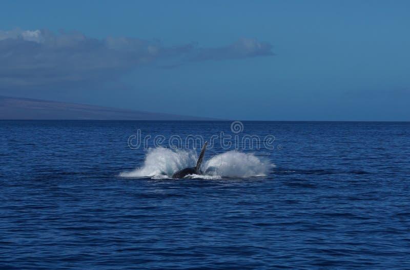 Wielorybi Flipper w w górę pozycji obrazy stock