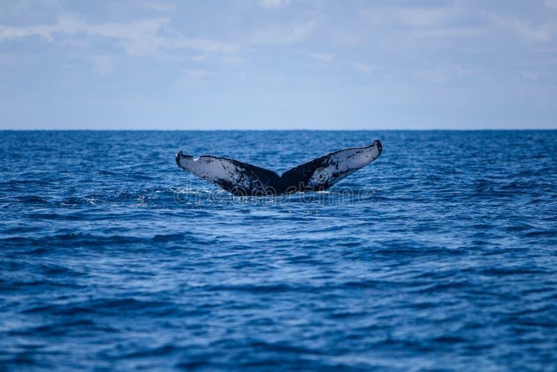 Wielorybi fuks obrazy stock