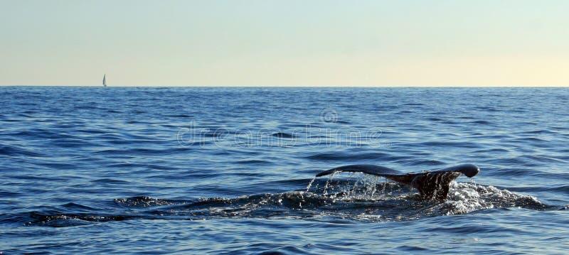 Wielorybi fuks, ogon w Cabo San Lucas Meksyk/ obrazy royalty free