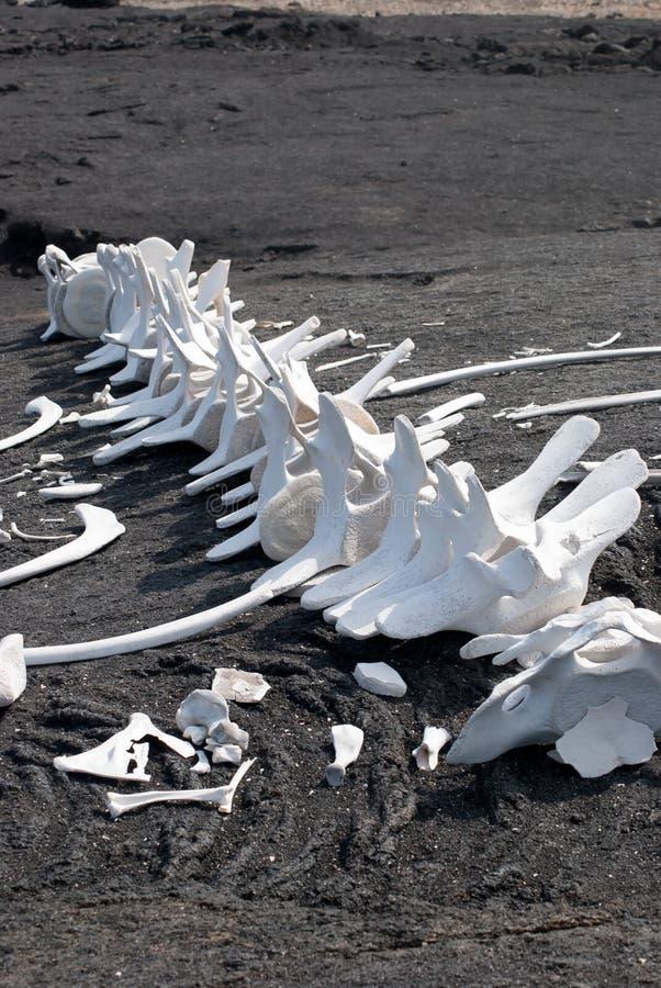 Wielorybi kręgosłupy na plaży zdjęcia royalty free