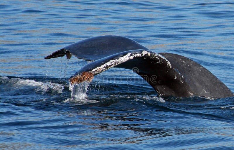 Wielorybi ogon, fuks w Cabo San Lucas Meksyk/ zdjęcia stock