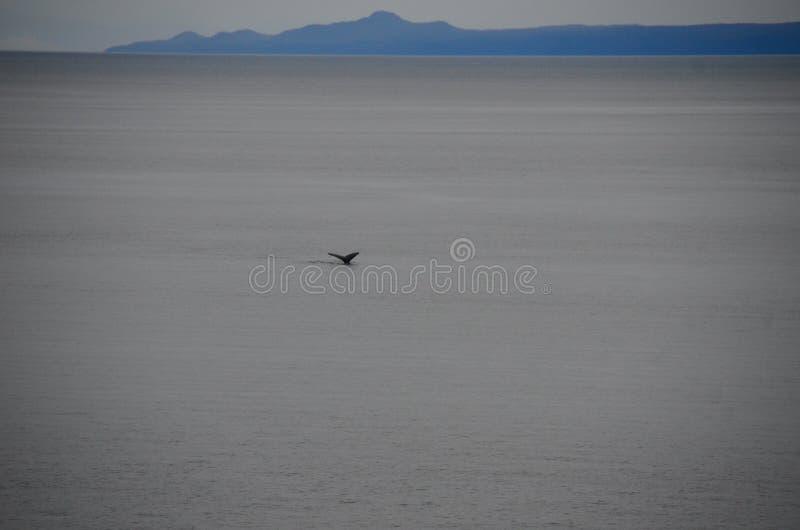 Wielorybi ogon w oceanie blisko Alaska, usa zdjęcia royalty free