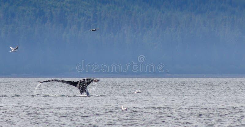 Wielorybi ogonu chełbotanie w oceanie fotografia stock