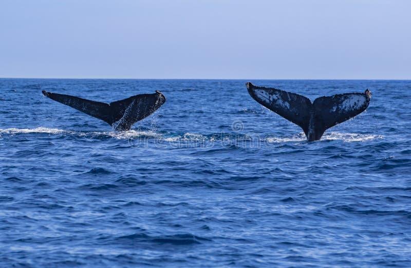 Wielorybi ogony obrazy stock