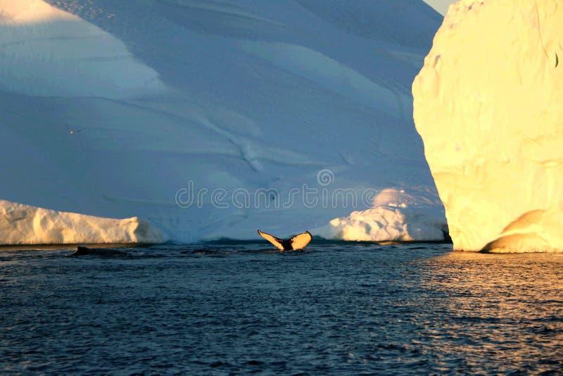 Wielorybi pikowanie w zmierzchu fjord w Greenland, obraz stock