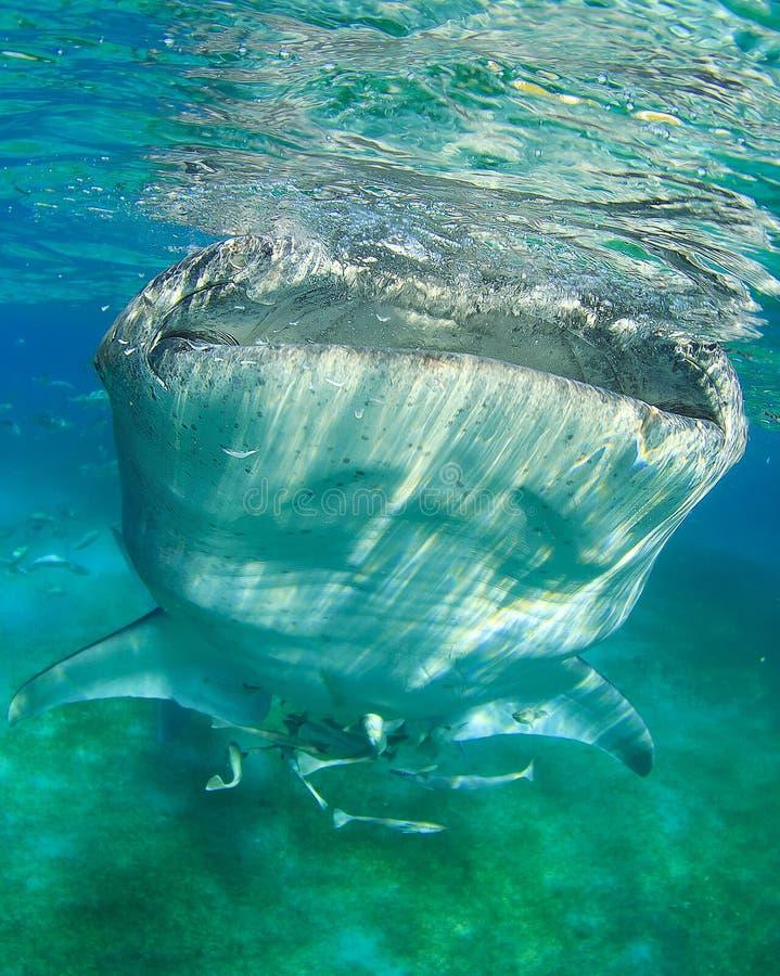 Wielorybi rekin obraz stock