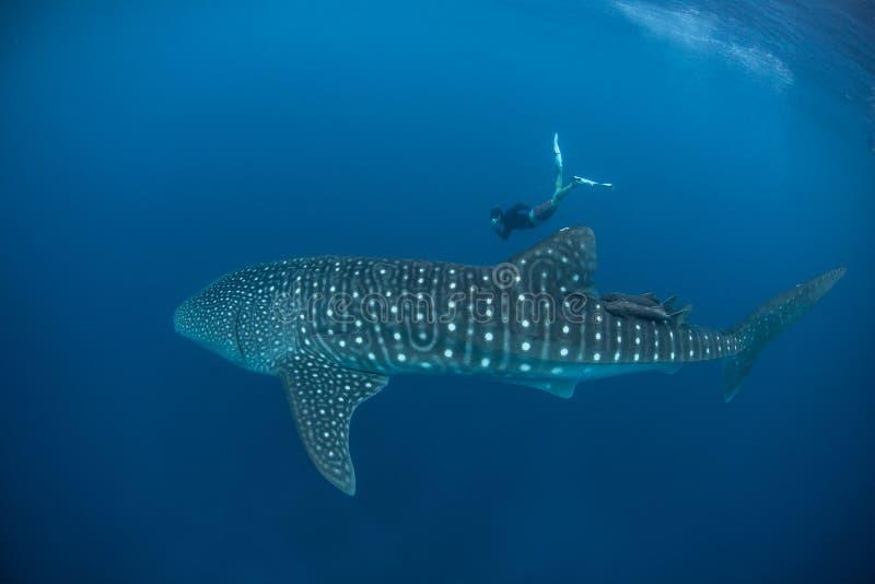 Wielorybi rekin i Bezpłatny nurek obraz royalty free