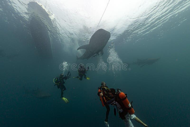 Wielorybi rekin podwodny zbliżający się akwalungu nurka w głębokim błękitnym morzu s zdjęcia royalty free