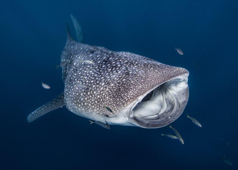 Wielorybi rekin w Australia fotografia royalty free