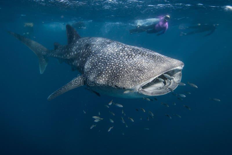 Wielorybi rekin w Australia zdjęcia stock