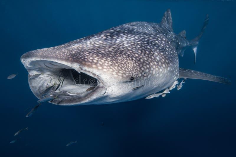 Wielorybi rekin w Australia zdjęcia royalty free