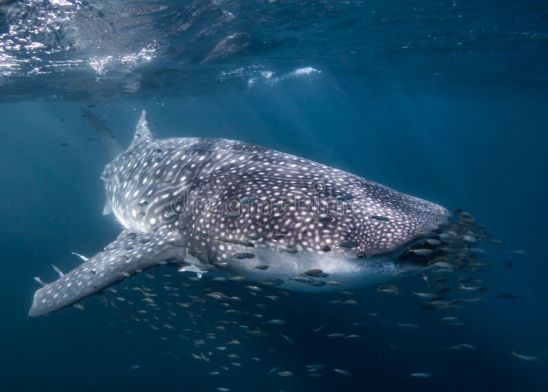 Wielorybi rekin w Australia obraz royalty free