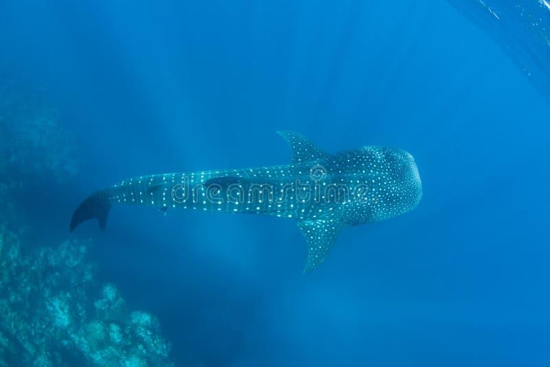 Wielorybi rekin w błękitne wody obrazy royalty free