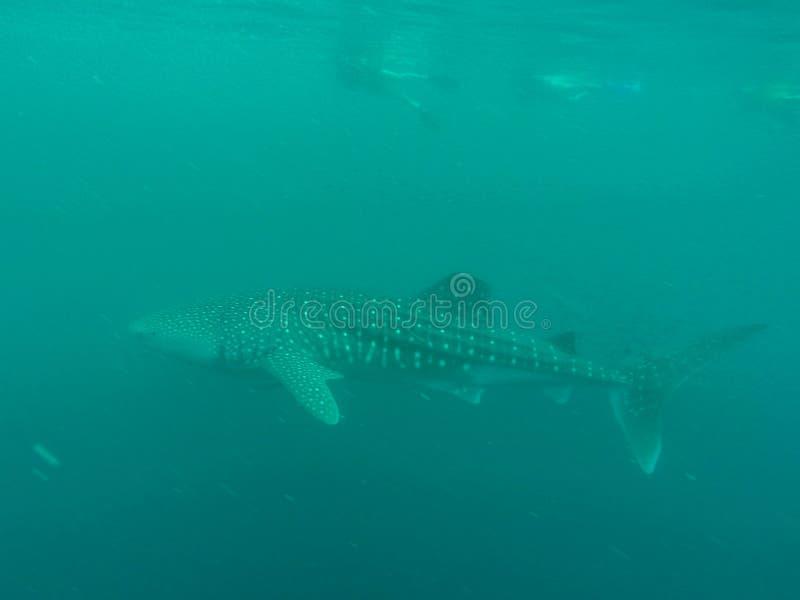 Wielorybi rekin w oceanie z rybą i podnawkami, zachodniej australii Ningaloo rafa zdjęcia royalty free