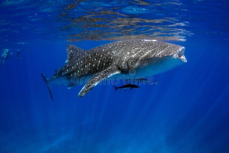 Wielorybiego rekinu błękitne wody zdjęcia royalty free