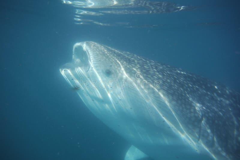 Wielorybiego rekinu ryba otwartego usta hydroplanktonu żywieniowy krill fotografia royalty free