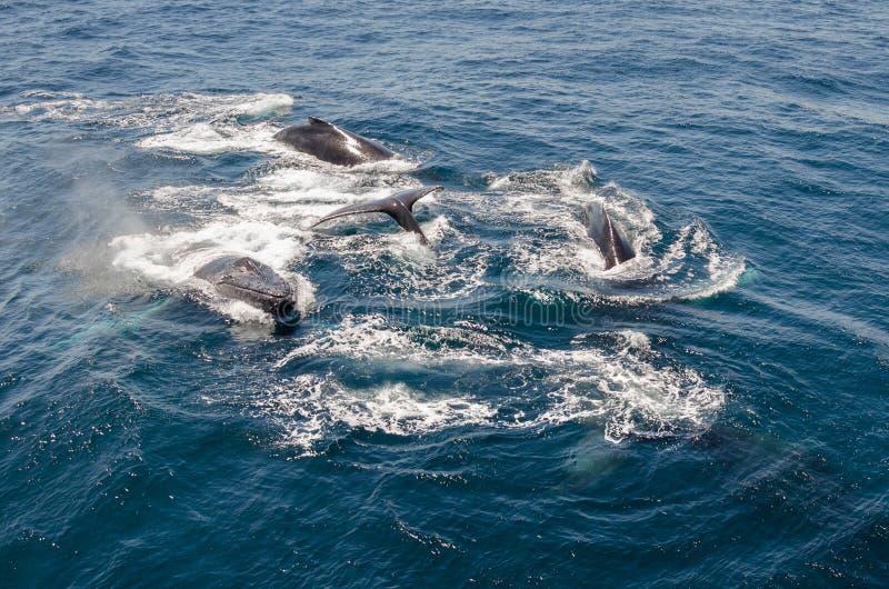wieloryby zdjęcia stock