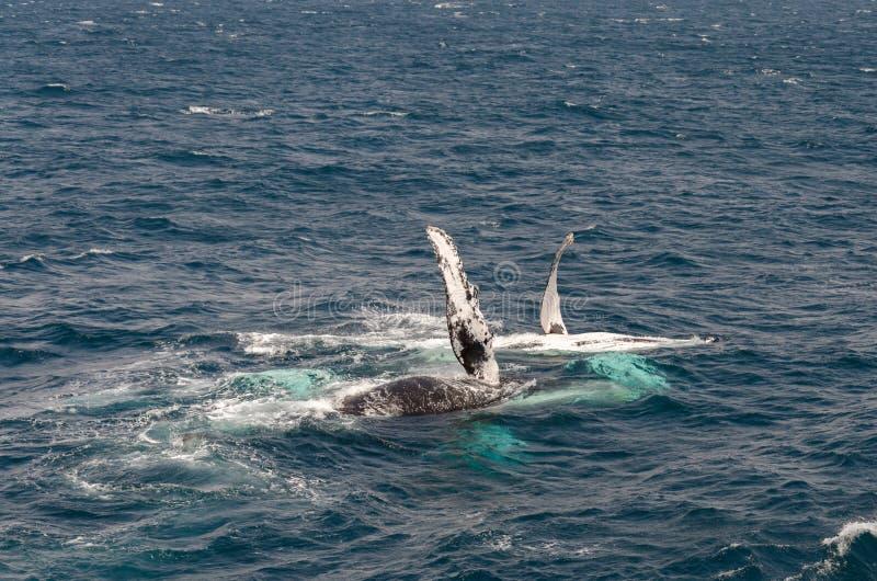 wieloryby obraz royalty free