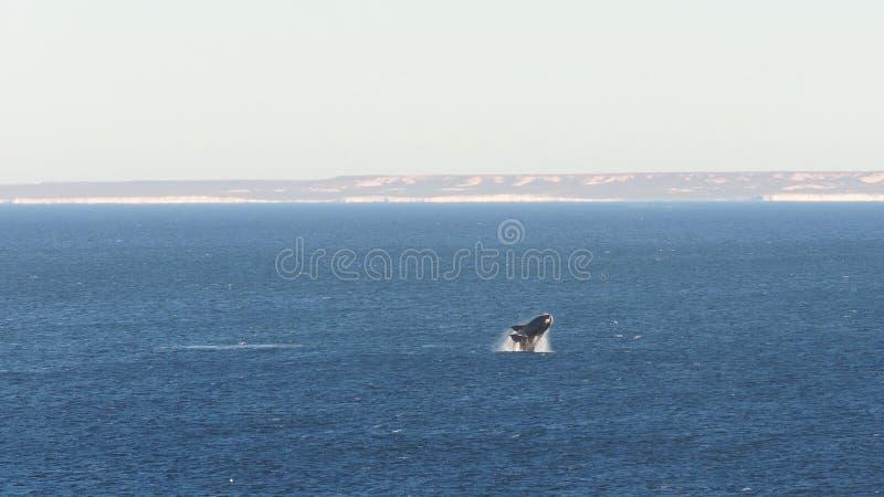 Wieloryby w patagonia fotografia stock