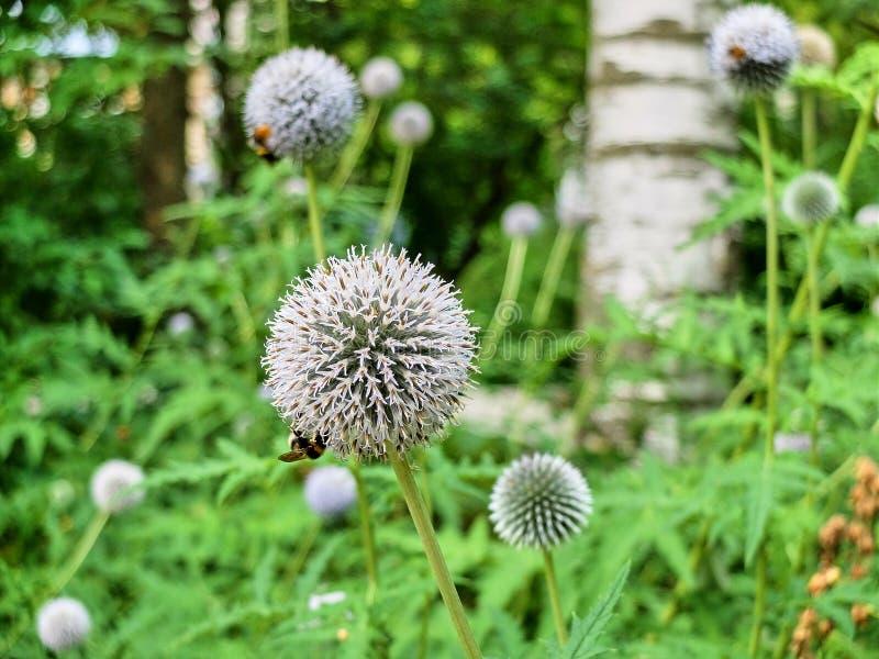 Wieloskładnikowi biali allium kwiaty zapylający pszczołami na łące fotografia royalty free