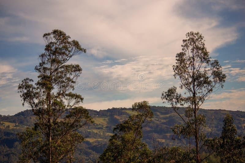 Wieloskładnikowy ujawnienie baldachim dwa eukaliptusowego drzewa zdjęcie stock