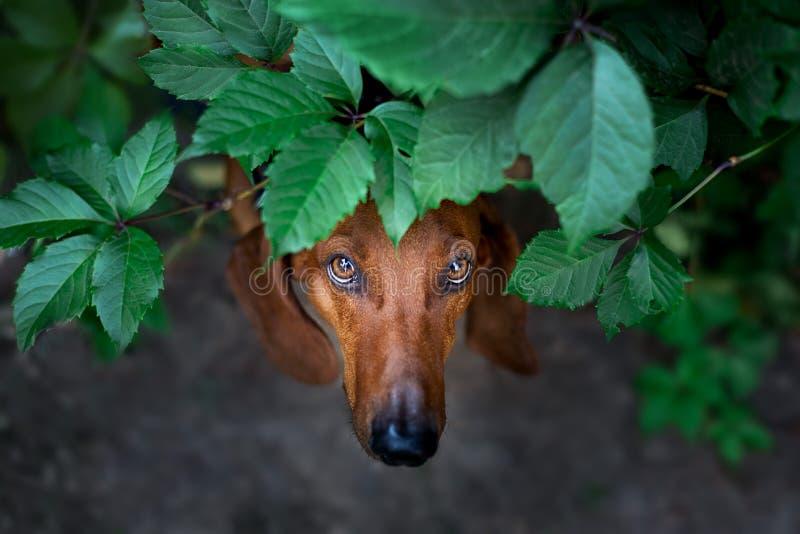 Dachshund dog close up stock image