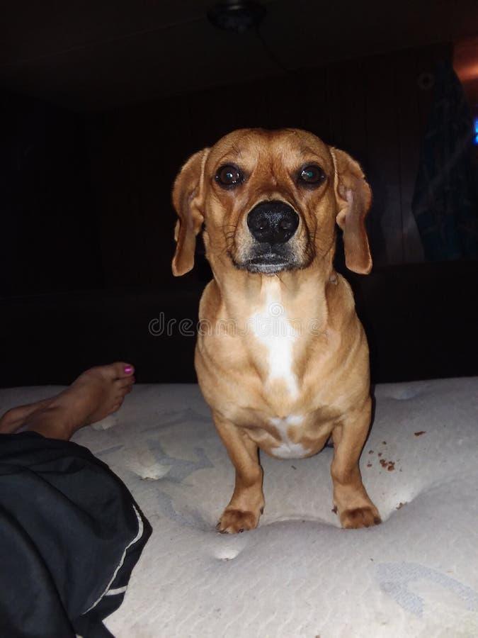 Wiener dog stock images