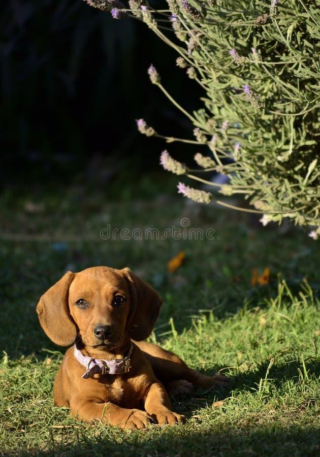 Wiener pies obrazy stock