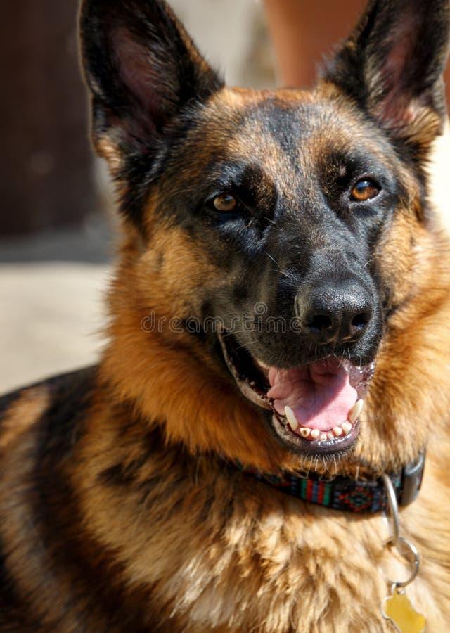 Wiernego członka rodzinego psi bawić się z swój ludzką paczką i rozprzestrzeniać szczęście fotografia stock