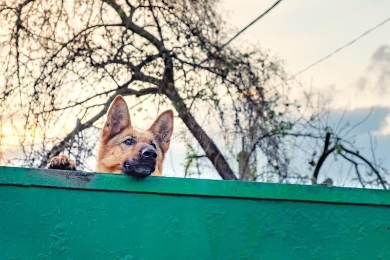 Wierny psi czekanie powrót jego mistrz zdjęcie stock