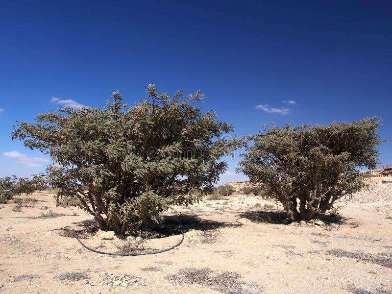 Wierookharsbomen, Wadi Dawkah, Oman stock afbeelding