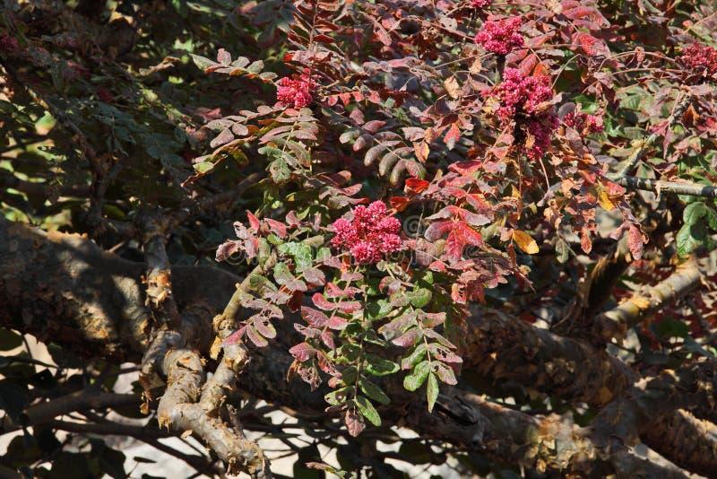 Wierookharsboom in bloesem stock afbeelding