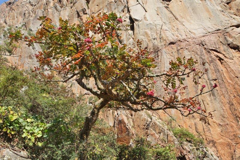 Wierookharsboom in bloesem royalty-vrije stock afbeeldingen