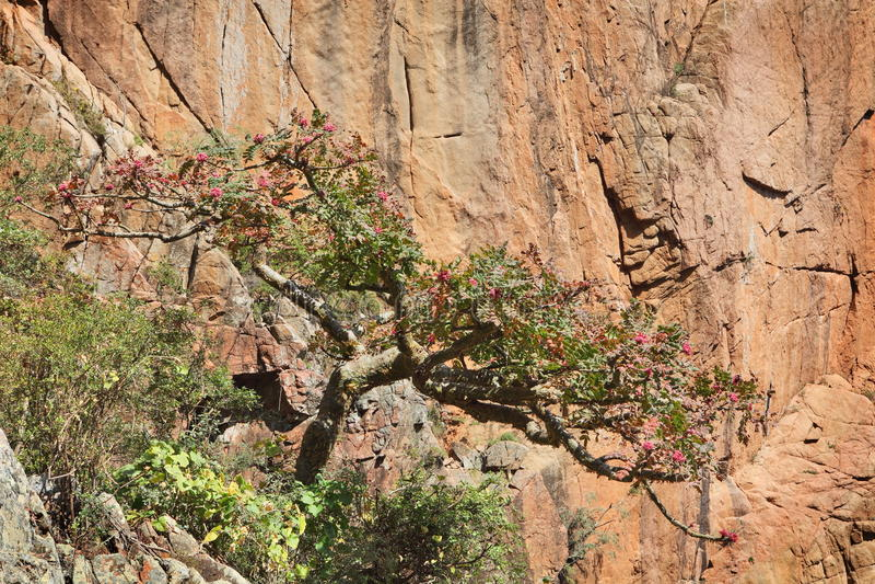 Wierookharsboom in bloesem royalty-vrije stock afbeelding