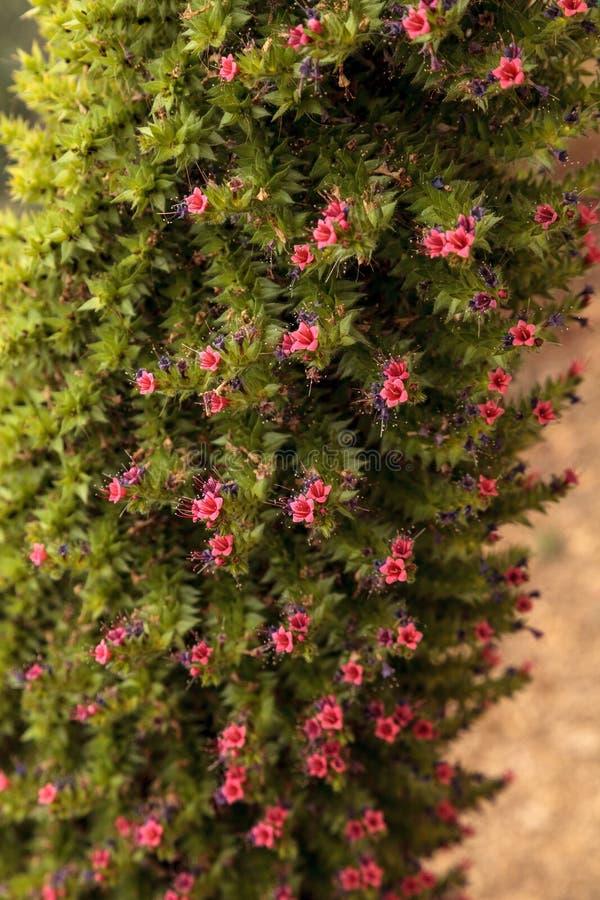 Wierza klejnotów kwiaty, Echium wildpretii zdjęcie royalty free