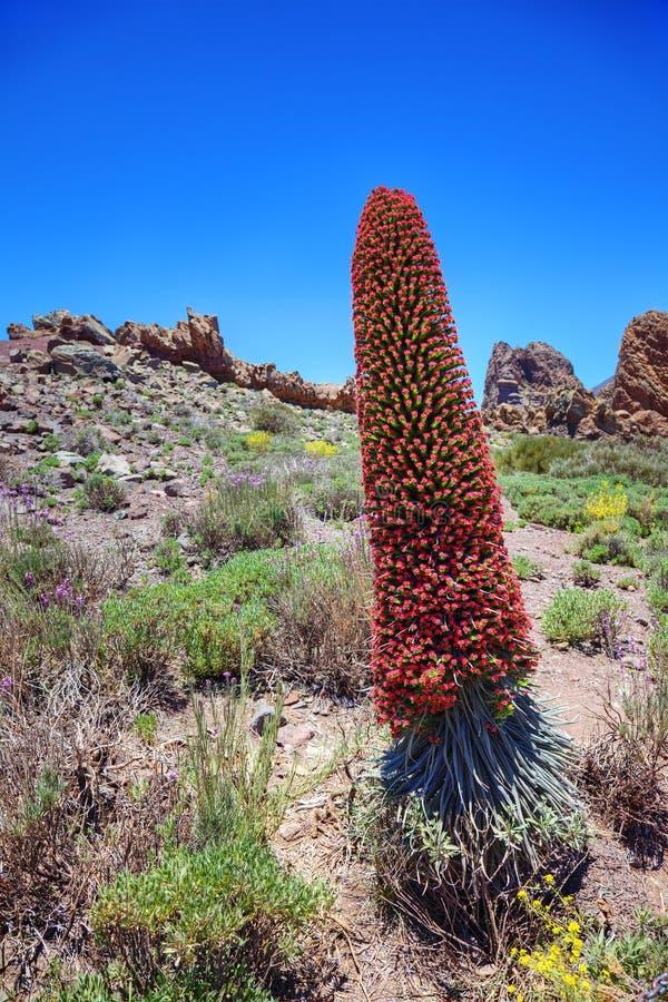 Wierza klejnoty, kanarki (Echium wildpretii) zdjęcia royalty free