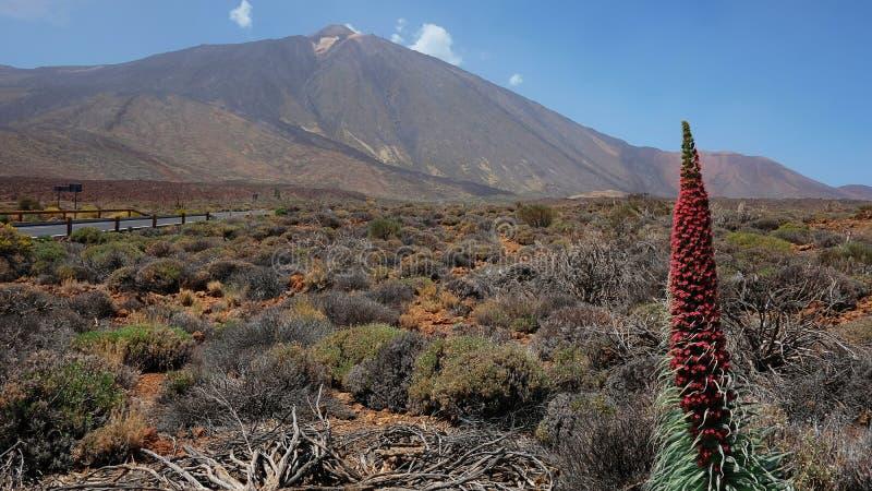 Wierza klejnoty kwitnie zna także jako Echium wildpretii Rojo z Pico Del Teide w tle lub Tajinaste obraz royalty free