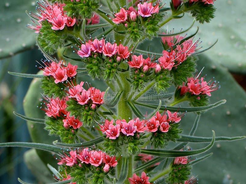 Wierza klejnoty Wildpretii W kwiacie Lub Echium obrazy royalty free