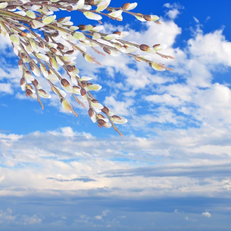 Wierzb gałązki z baziami na niebie zdjęcie stock