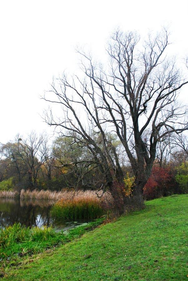 Wierzba bez liści na wzgórzach z zieloną trawą na krawędzi lasu blisko stawu z suchymi płochami zdjęcia royalty free
