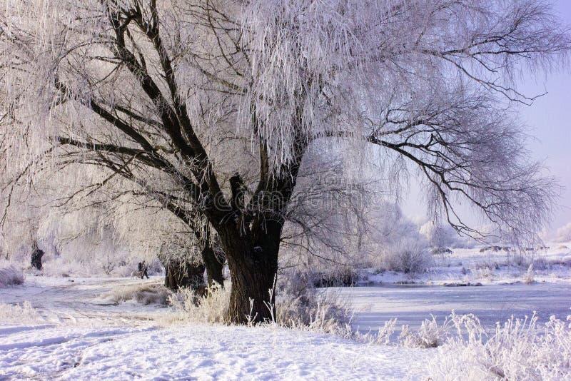 Wierzba w hoarfrost zimy lasu krajobrazie w wczesnego zima ranku deciduous mroźnej trawie pod zima opadem śniegu i ciepłym sunlig fotografia stock