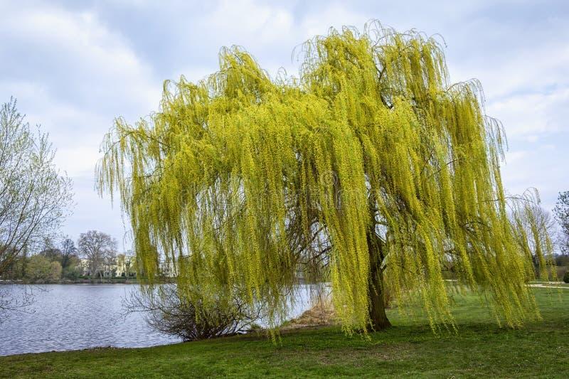 Wierzbowego drzewa stojaki blisko brzeg rzeki fotografia royalty free
