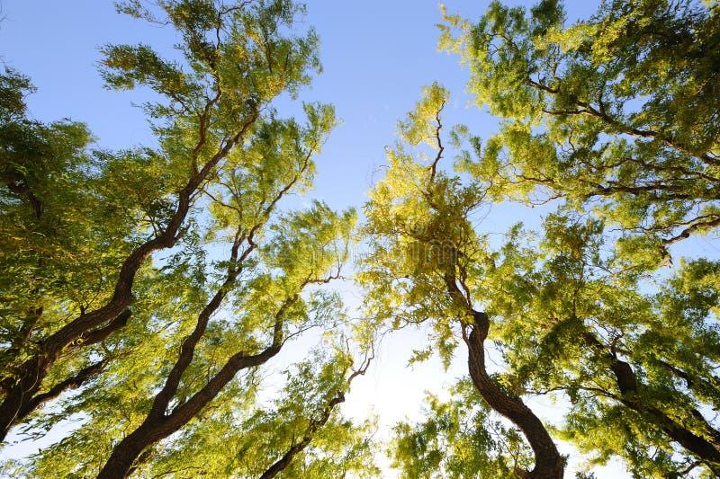 Wierzbowi drzewa obraz royalty free