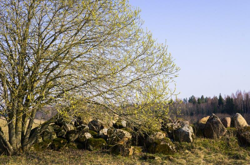 Wierzbowy krzak z otwartymi m?skimi kolczykami pe?no pollen blisko stosu kamienie w polu obrazy royalty free