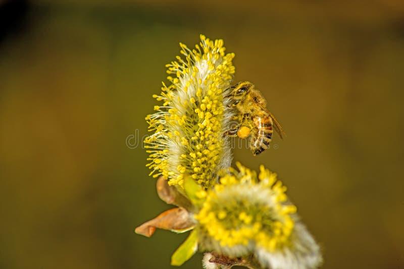 Wierzbowy okwitnięcie z pszczołą zdjęcie stock