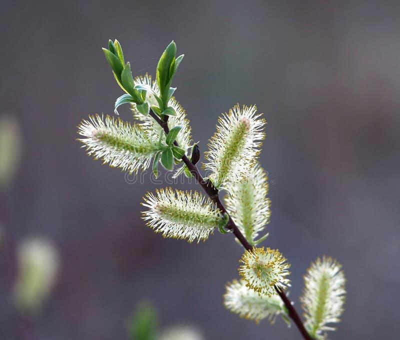 Wierzby Lub Salix gatunków bazia zdjęcia stock
