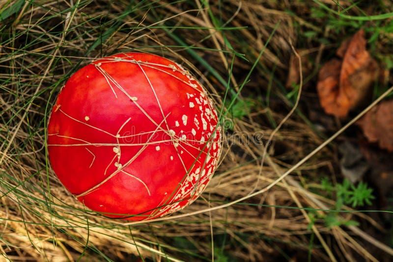 Wierzchołka puszka widok, komarnicy bedłki pieczarki Amanita muscaria dorośnięcie w lasowej suchej trawie zdjęcie stock